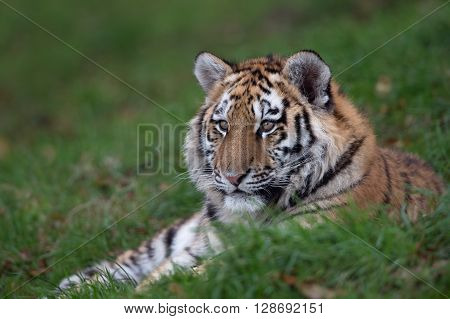Siberian Tiger Cub (Panthera Tigris Altaica) resting in long green grass
