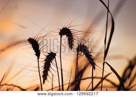 Wheat ears in sunset light