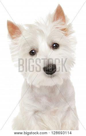 Highland Terrier (westie) On White Background