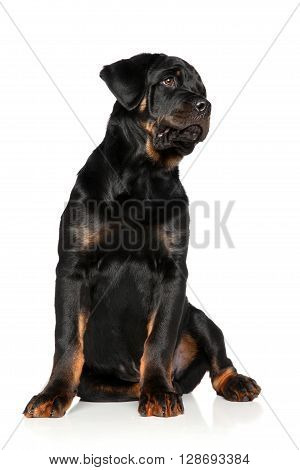 Rottweiler puppy sits on a white background