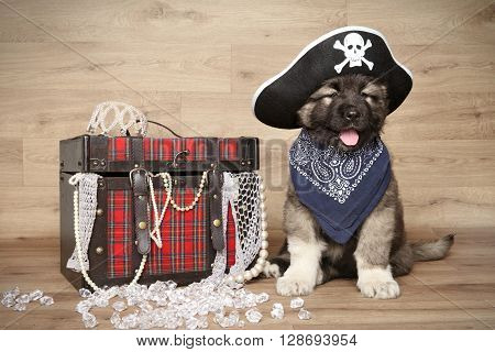 Caucasian Shepherd In Pirate Hat