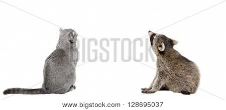 Scottish Fold cat and raccoon sitting together, back view, isolated on white background