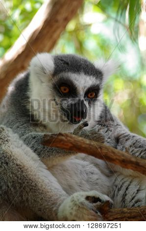 Ring-tailed lemur sitting on the tree at Monkey park Tenerife Canary island