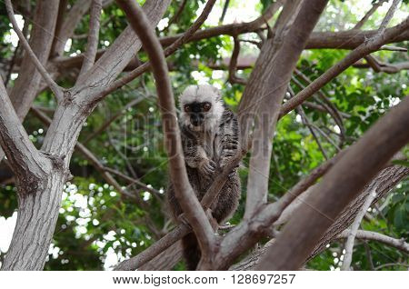 Lemur sitting on the tree at Monkey park Tenerife Canary island