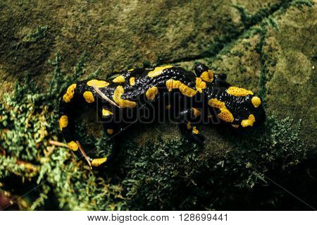 Salamandra Sitting On Rock In Green Forest In The Mountains