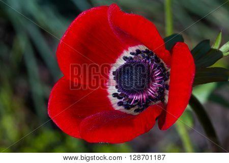 Macro of a red poppy anemone - Anemone coronaria