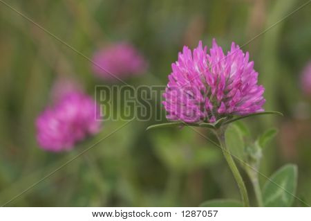 Red Clover, Trifolium Pratense,  Northfield, Vermont