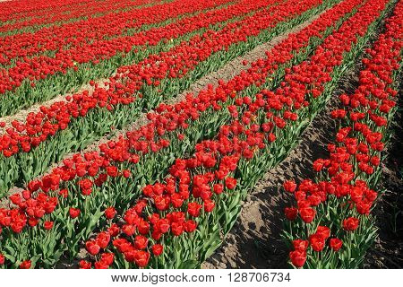 red tulips in a field in spring