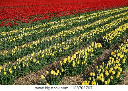 tulips in a field in spring in Germany