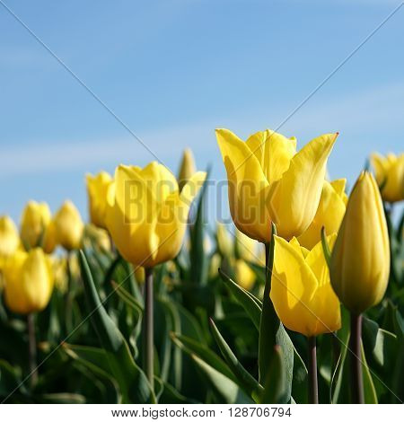 yellow tulips in a field in spring