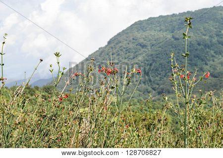 Red flowers on the slopes of Santa Ana volcano in Cerro Verde National Park El Salvador