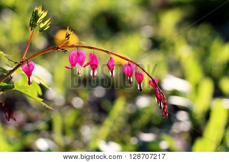 Spring flowers closeup Dicentra spectabilis bleeding heart flower