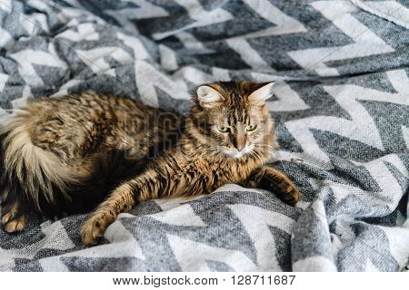 Beautiful Cute Cat Lying On Stylish Bedside With Funny Emotions Look On Background Of Room