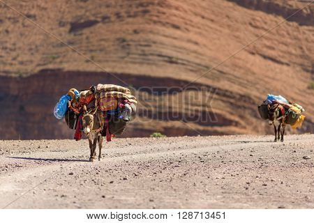 Donkeys used to carry luggage near Annmr in Morocco.
