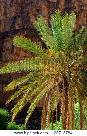 Date palms against red rock in Morocco.