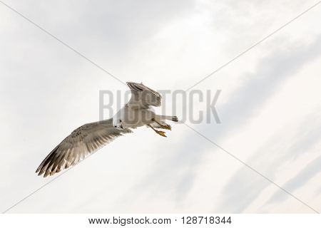 A white Seagull on a white background