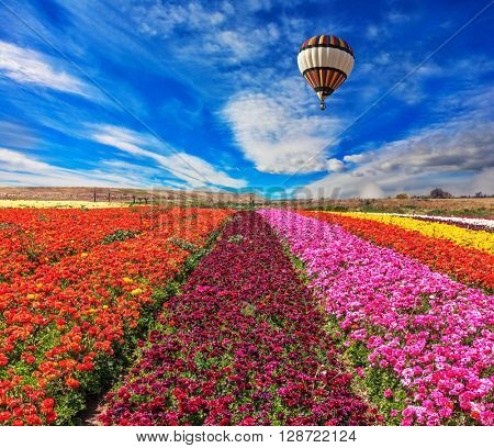 Spring windy day. Huge balloon flies over a field. Flowers planted with broad bands of bright colors - red, claret and pink.  Field of blooming buttercups- ranunculus