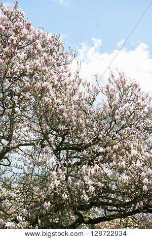 Light Pink Magnolia Tree
