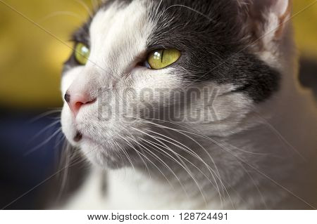 White cat with yellow eyes up close view.