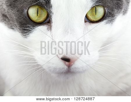 White and Gray cat up close view of face.