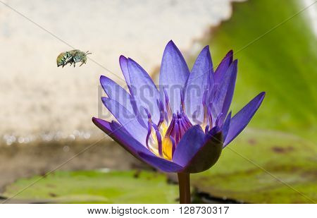 Green blue banded bee flying to purple waterlily