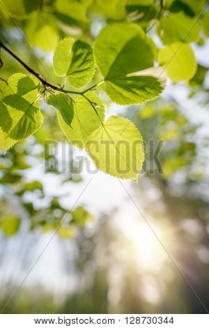 Backlit Poplar Leaves