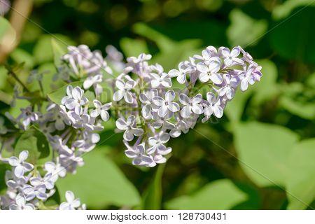 Syringa Vulgaris Madame Lemoine Flower, French Lilac