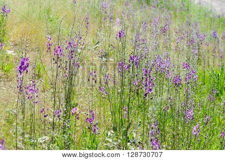 Verbascum Phoeniceum In The Meadow