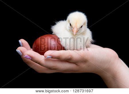 Hand of a young teenager holding a yellow baby chicken and an easter red egg. Concept of Easter celebrations