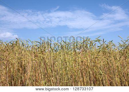 Spelt field (Triticum spelta) - Spelt species is considered as Relic Crop