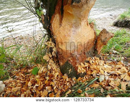Beaver at Work - a tree at the riverside is damaged