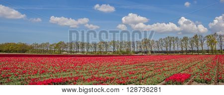 Panorama Of Red Tulips Along A Treeline