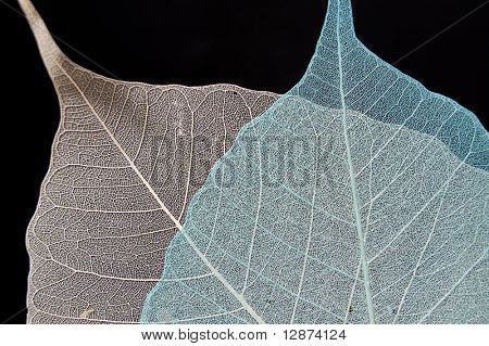 transparent leaf