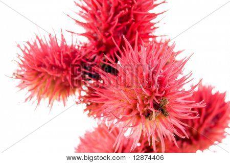 castor-oil plant flowers