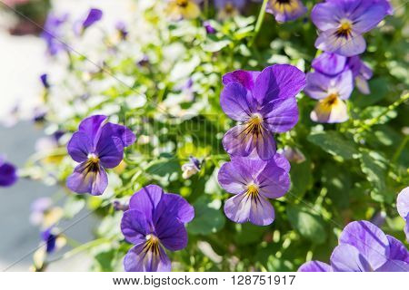 Potted flowers of garden pansy. Street decoration of plants and colorful flowers. Moscow Russia. ** Note: Visible grain at 100%, best at smaller sizes