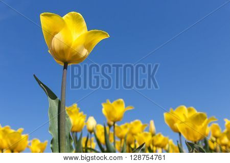 Dutch field with blooming yellow tulips and a blue sky. One tulip is isolated.
