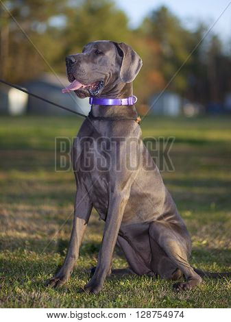 Great Dane purebred sitting on the grass with its tongue out