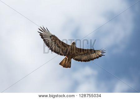 Buzzard in flight against the blue sky