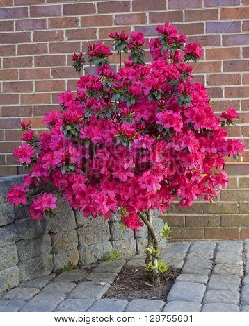 Azalea plant with bright red flowers surrounded by sand set bricks