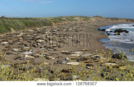 Elephant seals resting on a beach in San Simeon , California