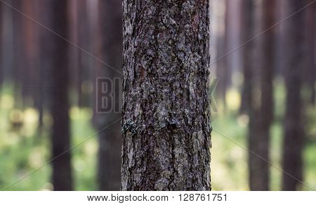 Close up of the pine tree bark with one thread gossamer, blurred background.