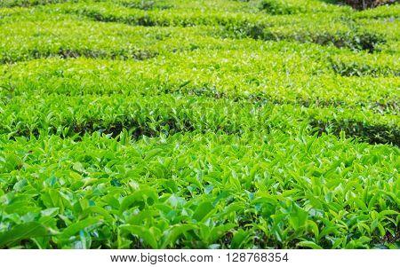 Close up of tea plantations near Cameron Valley Cameron Highlands Malaysia.