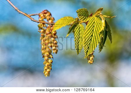 Catkins of hazel highly allergenic pollen with blurred background