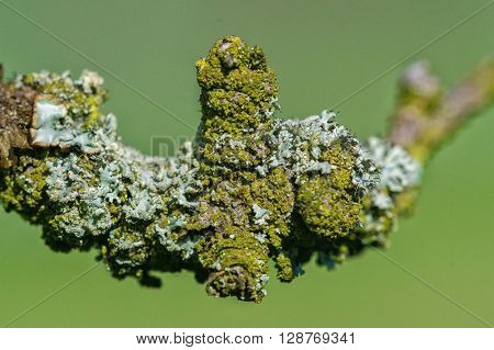 Detail of lichen on a twig of the tree with a blurred background