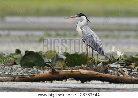 Cocoi Heron Standing In A Shallow Marsh