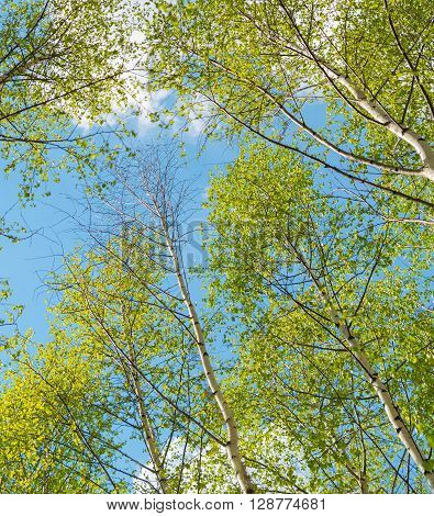 Young birch grove in an early spring