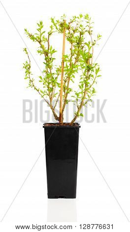 young plant seedlings Goji berry or Lycium barbarum in pot on white background