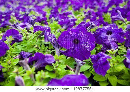 Image full of colourful Petunia hybrida flowers.
