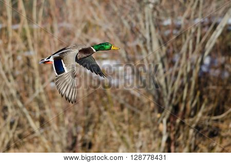 Mallard Duck Flying Past the Snow Filled Winter Woods