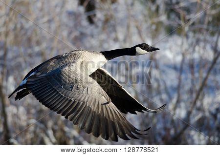 Canada Goose Flying Across the Snowy Winter Terrain